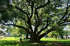 TREE shade Oak