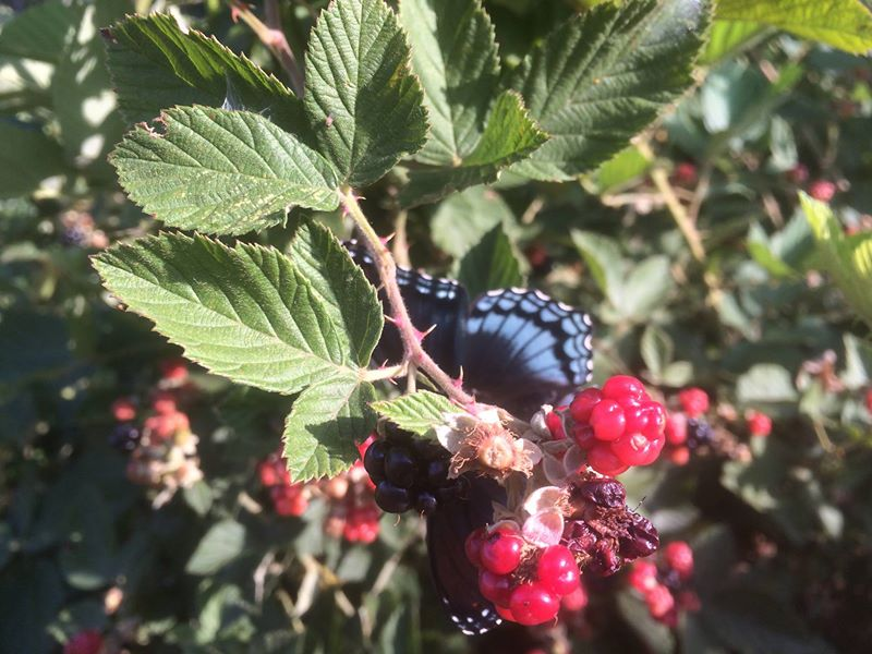 blackberry moth partly hidden