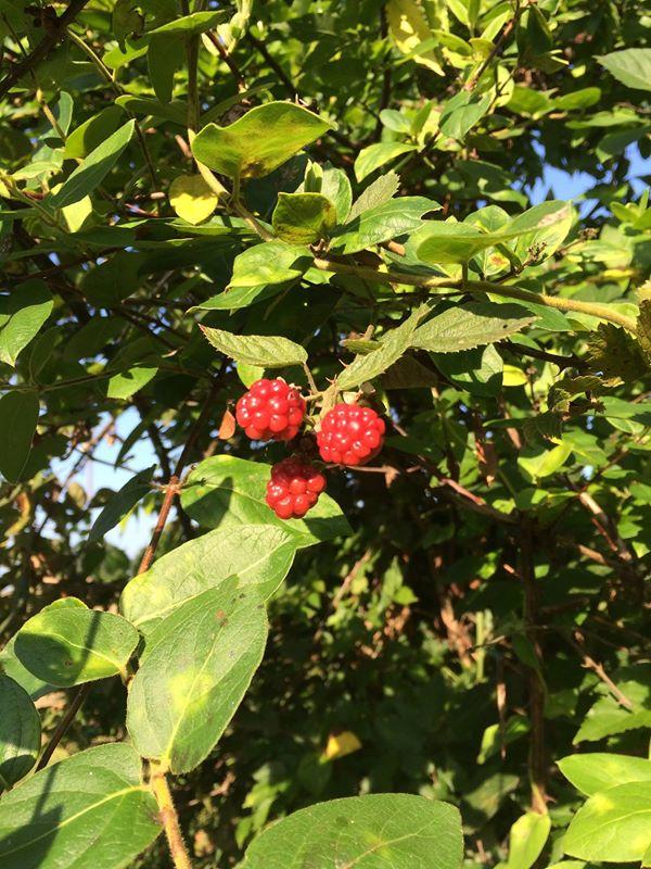 blackberry red berries