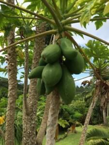 botanical tropical fruit