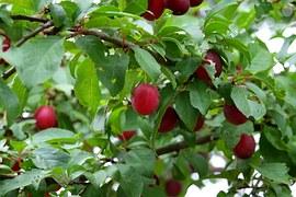 fidelity plum tree