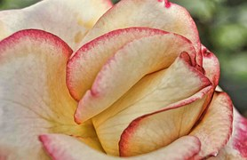 fidelity white pink rose petals