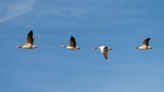 control geese flying