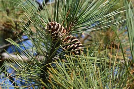 perfect gift green pines