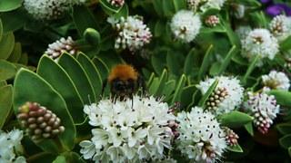 servant bee on white flower