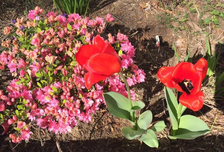 tulips 2B