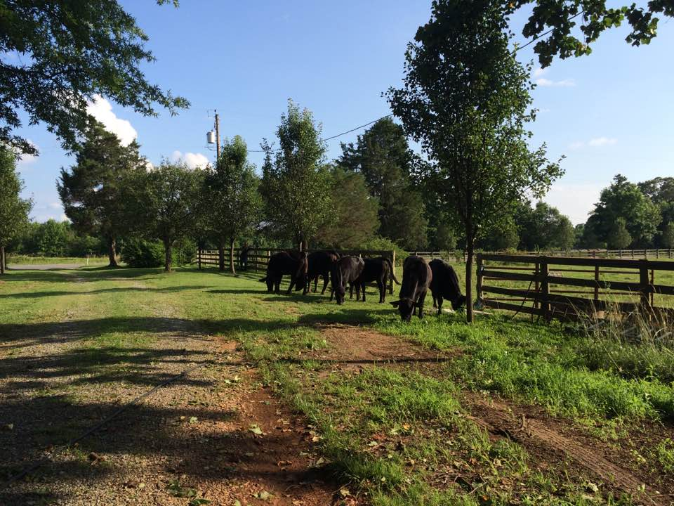 heifers moving 2