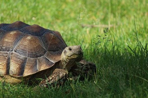 the tortoise nears the finish line!